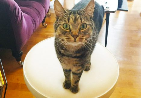 Teddy the cat on the table at the cat cafe